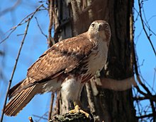 Buteo jamaicensis -John Heinz National Wildlife Refuge a Tinicum, Pennsylvania, USA-8.jpg