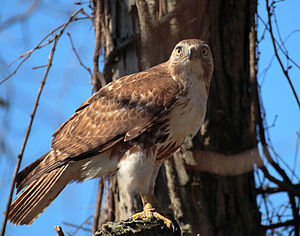 A Red-tailed Hawk at John Heinz National Wildl...
