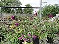 Butterflies on Butterfly Bushes (6167738204).jpg