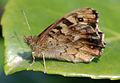 Butterfly (3462216059).jpg