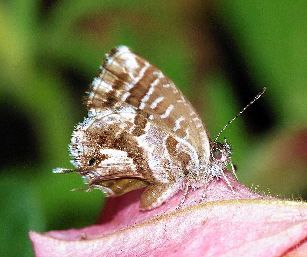cacyreus marshalli wikipedia la enciclopedia libre