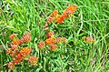Butterfly Milkweed (41914858345).jpg