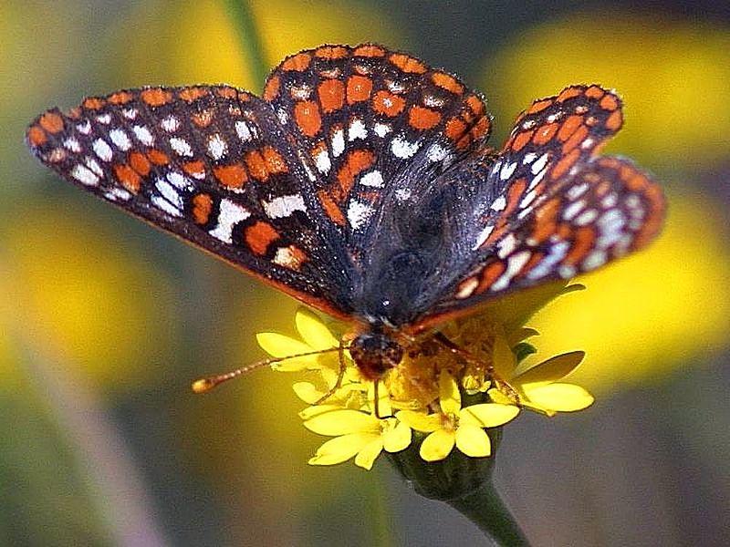 File:Butterfly butterflies bugs flowers.jpg