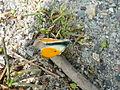 Butterfly in Południe (Włocławek).jpg