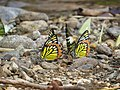 Butterfly mud-puddling at Kottiyoor Wildlife Sanctuary (7).jpg