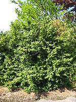 Buxus sempervirens tree.jpg