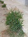 CB Menorca Setaria? 5.jpg