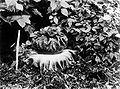 COLLECTIE TROPENMUSEUM Een oud exemplaar van de Amorphophallus campanulatus Heilig Bosch Kediri TMnr 10006012.jpg