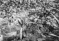 COLLECTIE TROPENMUSEUM Slijmzieke tabaksplanten Vorstenlanden TMnr 10012064.jpg