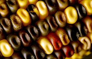 Corn kernel - Multicoloured kernels on a single corn cob (CSIRO)