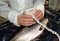 CSIRO ScienceImage 7340 Atlantic salmon processing.jpg