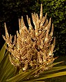 Cabbage Tree Flowers.jpg