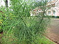 Cactus - കള്ളിമുൾ ചെടി 02.JPG