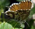 Cacyreus marshalli LE 2Petit.jpg