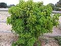 Caesalpinaceae - Senna candolleana (6349563188).jpg