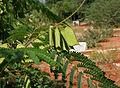 Caesalpinia sappan (Sappan wood) W IMG 3191.jpg