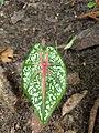 Caladium bicolor - Fancy-Leaf Caladium,Artist's pallet,Elephant's ear 2.jpg
