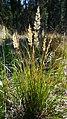 Calamagrostis rubescens 5.jpg