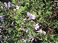 Calamintha sylvatica 1.JPG