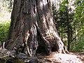Calaveras Big Trees State Park - South Grove, CA - panoramio (7).jpg