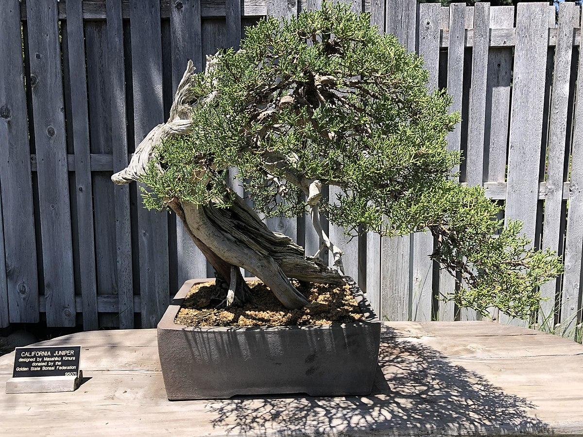 Masahiko Kimura Bonsai Artist Wikipedia