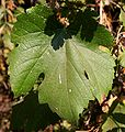 California Wild Grape Maturer Leaf at CMSP.jpg