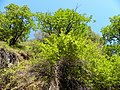 California buckeye in uvas canyon.jpg