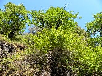 Uvas Canyon County Park - Image: California buckeye in uvas canyon