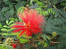 Calliandra tweedii 2.jpg