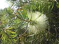 Callistemon pachyphyllus var. viridus (6728159727).jpg
