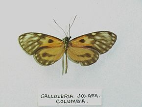 Description de l'image Calloleriajolaea.jpg.