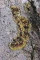 Caloplaca sp. (26726684948).jpg