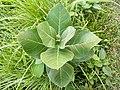 Calotropis Gigantea Plant.jpg