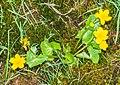 Caltha palustris in Avoriaz (5).jpg