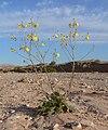 Camissonia multijuga 8.jpg