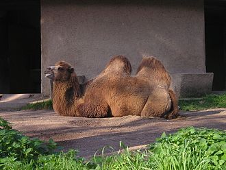 Bioparco di Roma - Camelus bactrianus