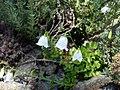 Campanula cochleariifolia white 2.jpg