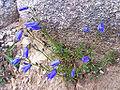 Campanula polymorpha a4.jpg