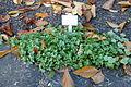 Campanula portenschlagiana - Botanischer Garten Braunschweig - Braunschweig, Germany - DSC04361.JPG