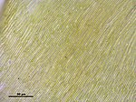 Campylium stellatum (d, 145612-473018) 1941.JPG