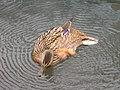Canard colvert femelle (Anas platyrhynchos) (1).jpg