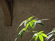 Top of Cannabis plant in vegetative growth stage.