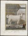 Capra angorensis - bok - 1700-1880 - Print - Iconographia Zoologica - Special Collections University of Amsterdam - UBA01 IZ21300213.tif
