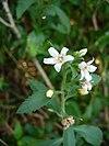 Capraria biflora (Scott Zona) 001
