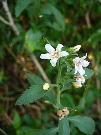 Capraria - Capraria biflora