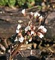 Capsella bursa-pastoris ENBLA05.jpg