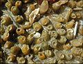Capsules ovigères (chacune contenait plusieurs oeufs) du gastéropode Nucella lapillus estran Wimereux mi 2016 F Lamiot 01.jpg