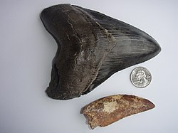 Carcharodontosaurus tooth from the Sahara Desert with a C. megalodon tooth, and a 25 mm diameter coin (US quarter).