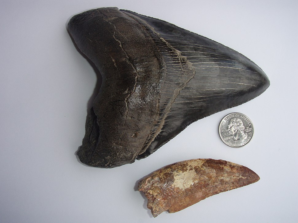 Carcharodontosaurus and Megalodon teeth