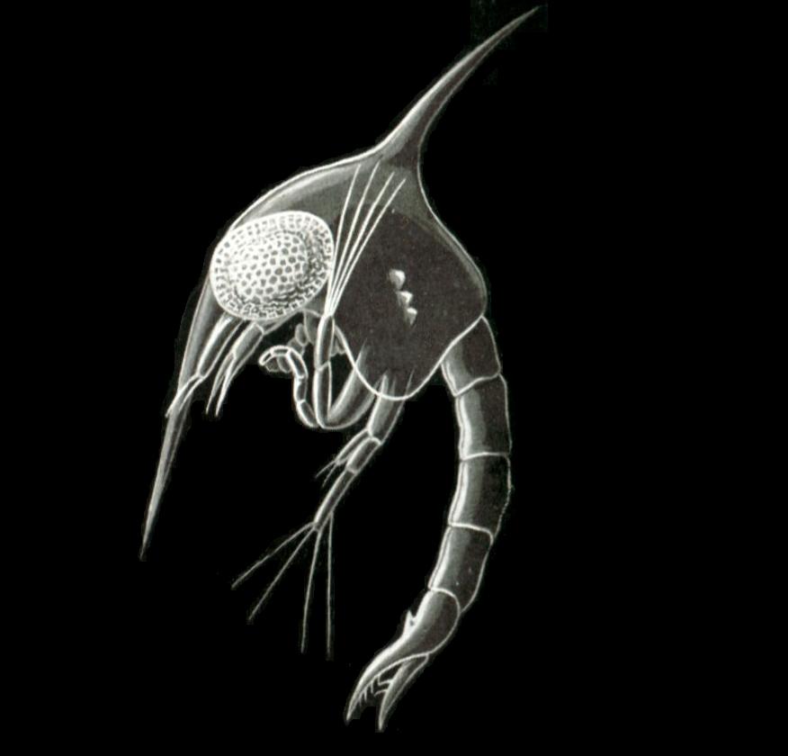Carcinus maenas, zoea larva